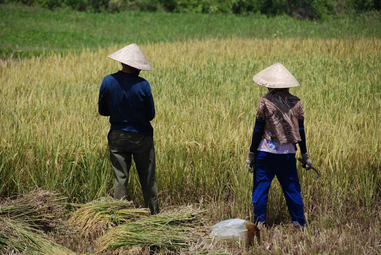 Récolte du riz sous le soleil très chaud
